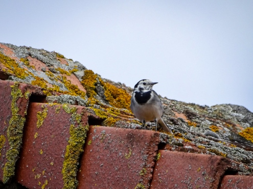 White wagtail, photographed at Étoile du Nord