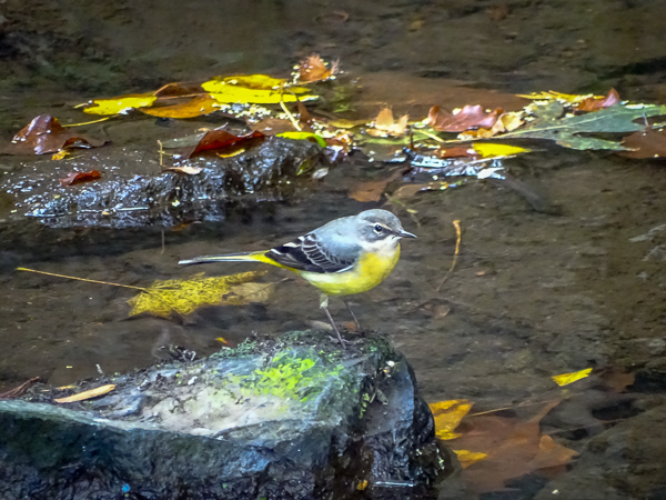 Grey wagtail, photographed in Flers